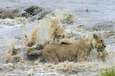 La leona de Masai Mara y el instinto del líder